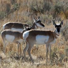 three pronghorn antelope in sagebrush medium shot November 2014