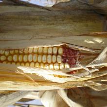 tight shot of corn from deer damage depredation November 2007