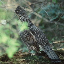 ruffed grouse in brush September 2005