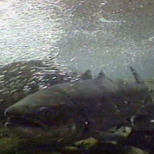tight shot of a salmon swimming underwater April 2004