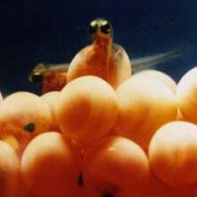Sawtooth Fish Hatchery fry hatching vertical shot small photo