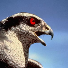 Goshawk Crying