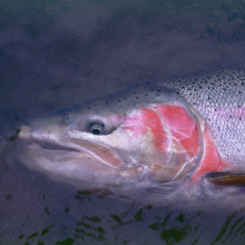 tight shot of the head of a steelhead