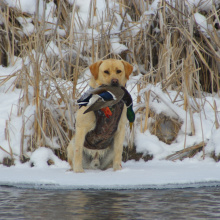 Tate Brooks dog with a mallard January 2008