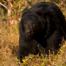 black bear in Fall brush October 2009