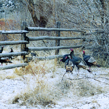 Big Cottonwood Wildlife Management Area WMA turkey medium shot
