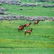 medium shot of a herd of elk running in grass off US 20