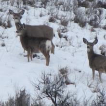 Wintering mule deer at Andrus WMA Wildlife Management Area in deep Winter snow