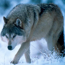 wolf walking in snow