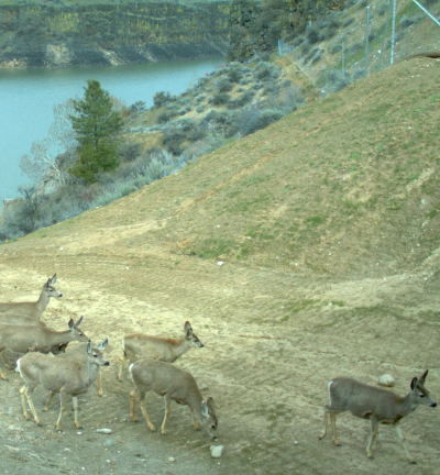 Deer using ID 21 underpass