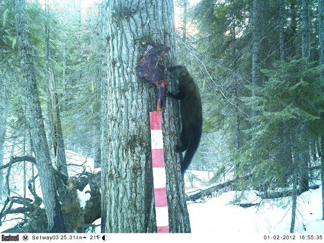 Fisher in Selway-Bitterroot Wilderness