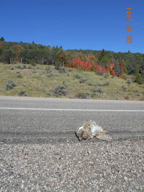 Great Horned Owl roadkill US-30 site