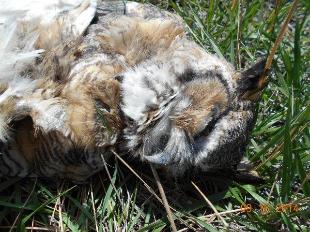 Great Horned Owl roadkill US-30 closeup
