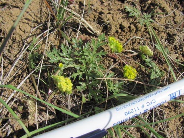 Cymopterus_acaulis_greeley_17April2014_BC--Plant-1