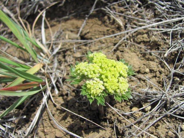 Cymopterus_acaulis_greeley_17April2014_BC--Plant-3