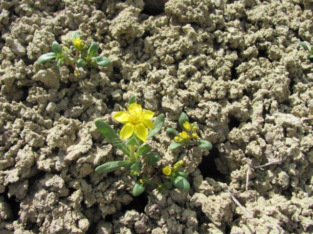 Phacelia_lutea_calva_24April2014_BC--PHLUC and Mentzelia mollis-May_7