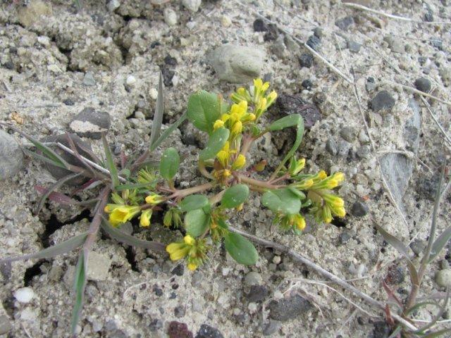 Phacelia_lutea_calva_24April2014_BC--Plant-April_24
