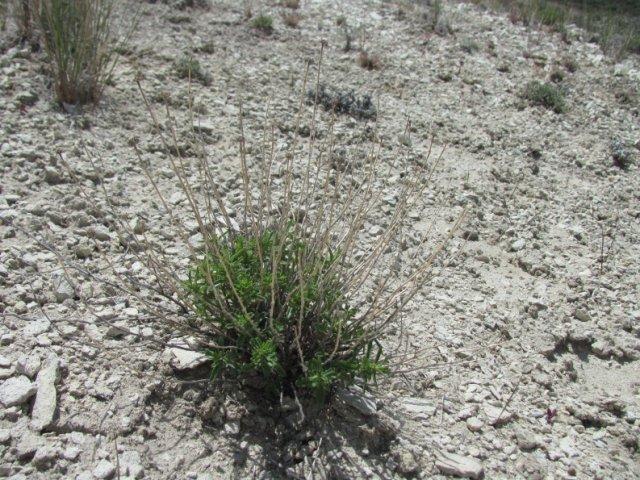 Monardella_angustifolia_8May2014_BC--Plant-May_8