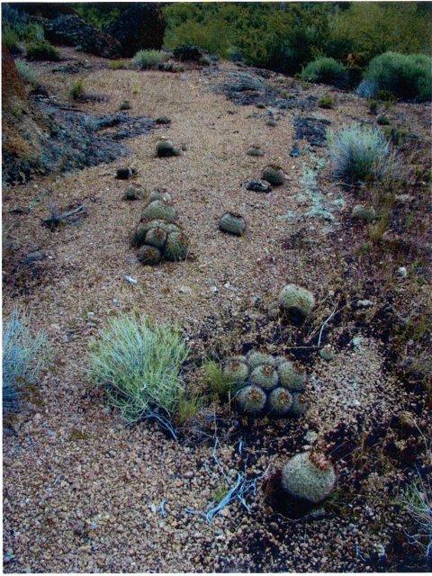 Pediocactus_simpsonii_6June2005_Hannon--Habitat