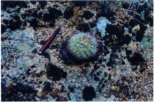 Pediocactus_simpsonii_6June2005_Hannon--Plant