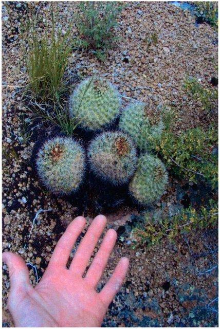 Pediocactus_simpsonii_6June2005_Hannon--Plants-2