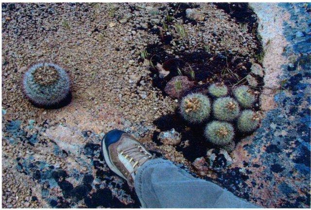 Pediocactus_simpsonii_6June2005_Hannon--Plants-3