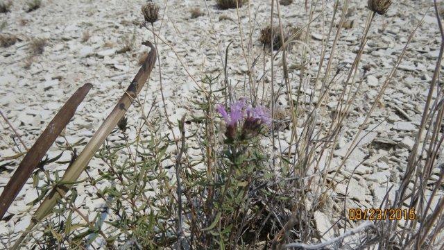 Monardella_angustifolia_23August2015_AS--Plant.jpg