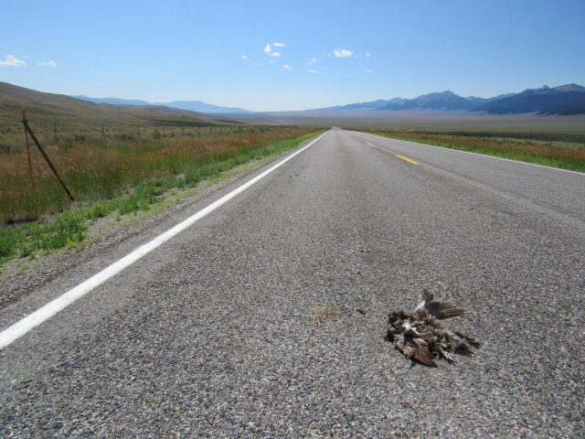 Two Greater Sage-grouse (adult hen and young-of-year) killed by vehicle collision on Idaho State Highway 28 just south of Gilmore Summit.