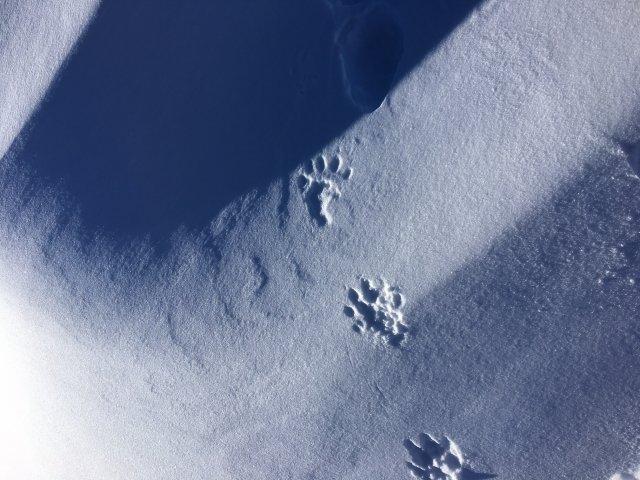 suspected wolverine tracks in high alpine
