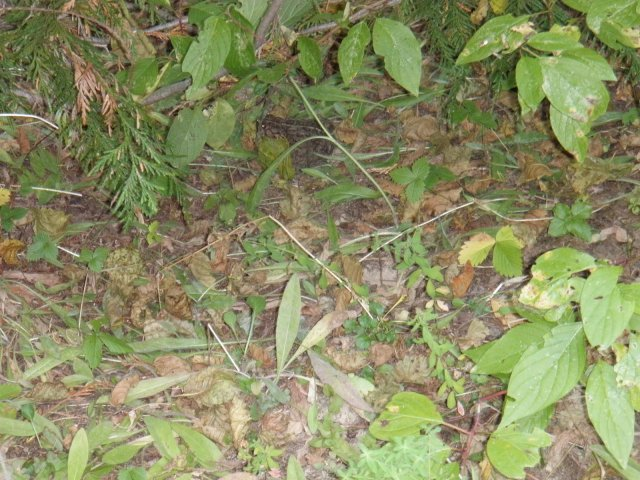 Western Toad 09-21-12