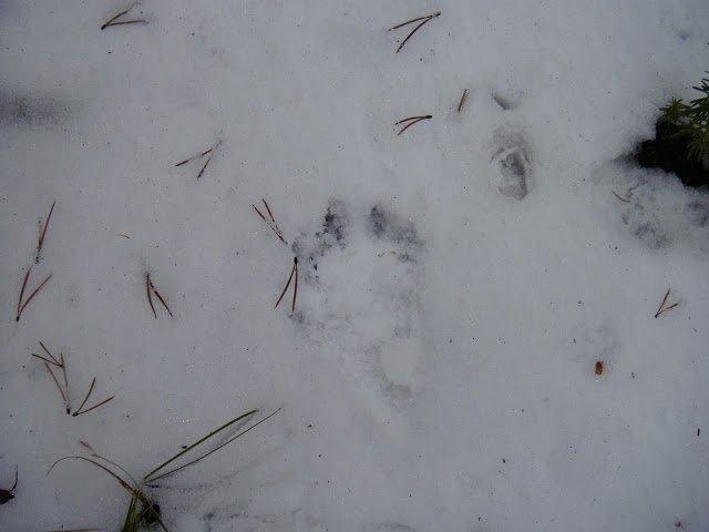 WayneHunter - wolverine tracks - 2012