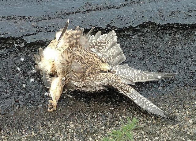 Peregrine Falcon, fledgling, roadkill