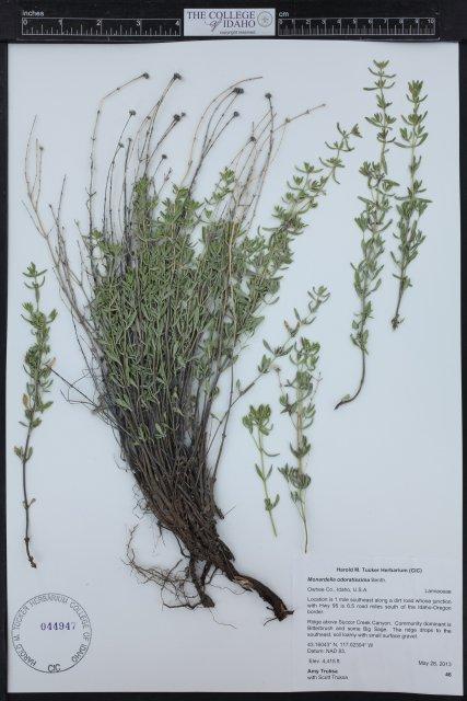 Monardella angustifolia from ridge above Succor Creek Canyon