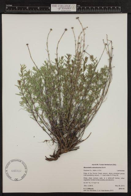 Monardella angustifolia from edge of Succor Creek Canyon