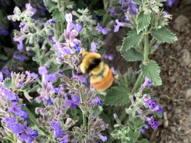 Tri-colored Bumble Bee (Bombus ternarius)