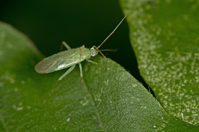 http://www.biopix.com/blepharidopterus-diaphanus_photo-106873.aspx