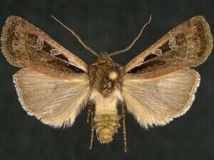 http://mothphotographersgroup.msstate.edu/species.php?hodges=10825.1