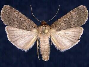 http://mothphotographersgroup.msstate.edu/species.php?hodges=10927.1