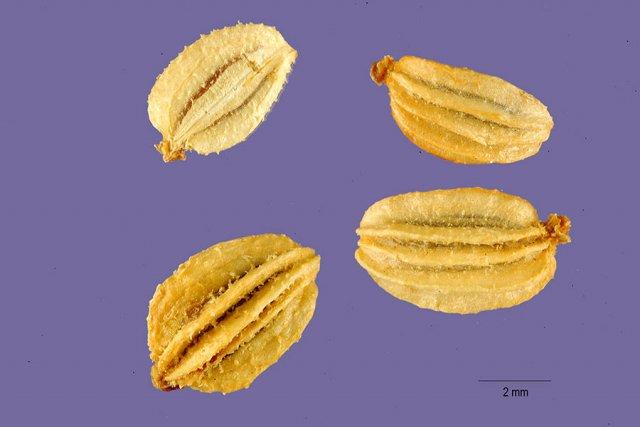 http://plants.usda.gov/java/largeImage?imageID=anki_001_ahp.tif