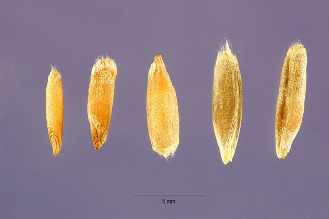 http://plants.usda.gov/gallery/large/semo_002_lhp.jpg