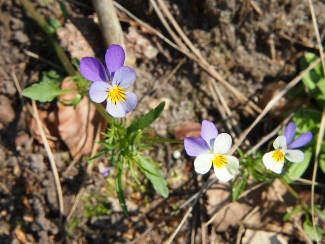 http://commons.wikimedia.org/wiki/File:Wild_Stiefmütterchen_(Viola_tricolor)_(1).JPG