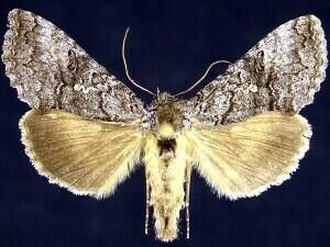 http://mothphotographersgroup.msstate.edu/species.php?hodges=8929