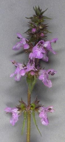 http://www.bioimages.org.uk/vfg/MWSt/NikonD100+N50/2003/03-09/03-09-07/03I07B_3.jpg