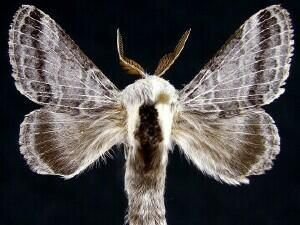http://mothphotographersgroup.msstate.edu/species.php?hodges=7677