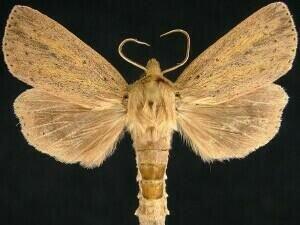 http://mothphotographersgroup.msstate.edu/species.php?hodges=9449