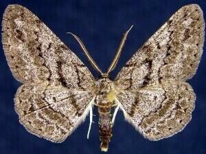 http://mothphotographersgroup.msstate.edu/species.php?hodges=6448