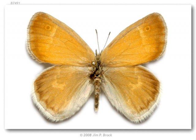 http://butterfliesofamerica.com/images/Nymphalidae/Satyrinae/coenonympha_tullia_inornata/085_Coenonympha_tullia_inornata_F_powerline_cut_near_Monkland_Ontaroa_CAN_09-VI-75_2.jpg