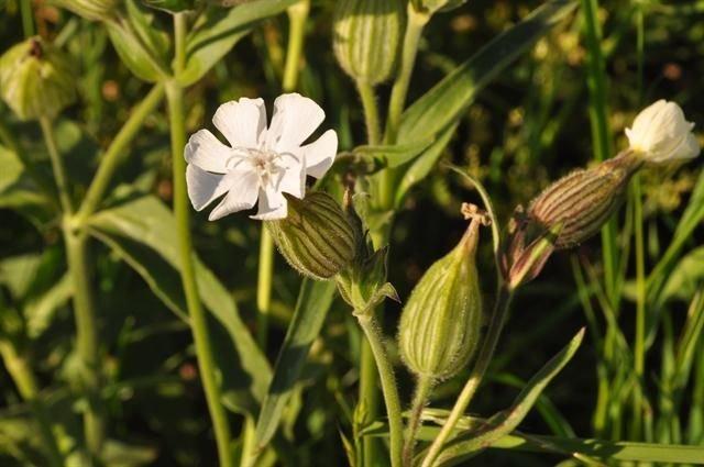 http://www.biopix.com/white-campion-silene-latifolia-ssp-alba_photo-92404.aspx