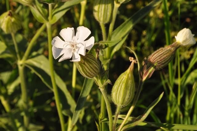 http://www.biopix.com/white-campion-silene-latifolia-ssp-alba_photo-92404.aspx