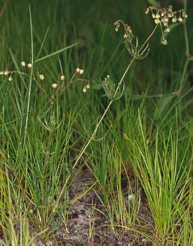 http://www.bioimages.org.uk/vfg/MWSt/MinDSDII/1971/71-08/71-08-03/71H03SpeArv2.jpg